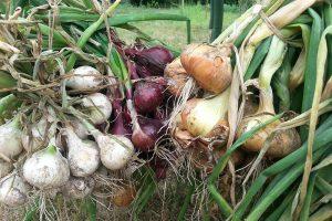 V pěstování cibule se můžete stát storpocentním samozásobitelem. foto Lucie Peukertová