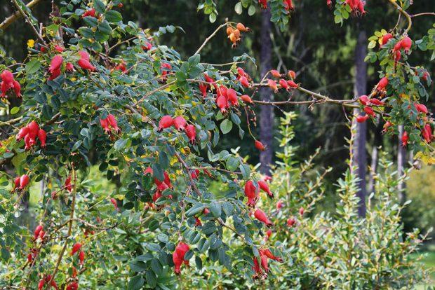 Na konci sezóny si na zahradě zvláště zamilujete dřeviny s okrasnými plody. FOTO LUCIE PEUKERTOVÁ