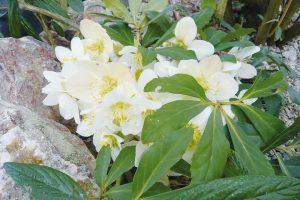 Oblíbené zimní květiny jsou čemeřice. Možnost uplatnění i ve floristice. FOTO LUCIE PEUKERTOVÁ