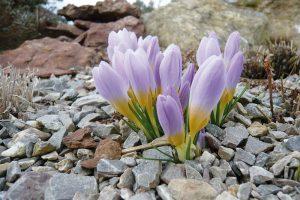 Použití cibulovin nepodceňujte, rozzáří zahradu v době, kdy ještě hrozí sněhové přeháňky. FOTO LUCIE PEUKERTOVÁ