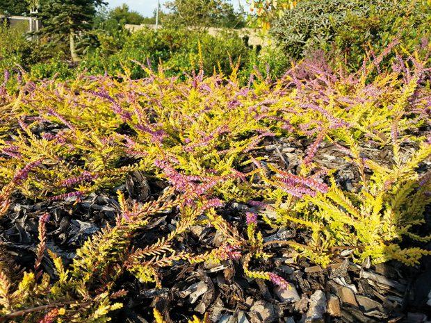 Vřes nabízí nádherné barevné kreace i během pozdního podzimu. FOTO LUCIE PEUKERTOVÁ