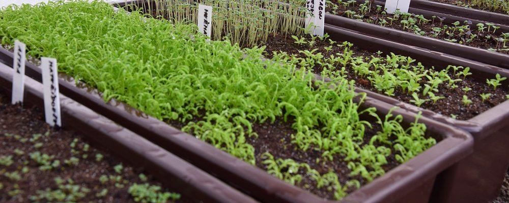 Předpěstování sadby ze semen a čím si pomoci