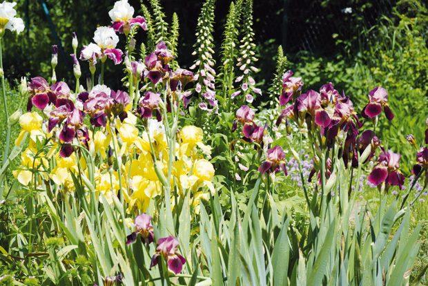 Na venkovských zahradách se nejvíce zabydlely tradiční druhy trvalek nebo druhy označované jako staré. FOTO LUCIE PEUKERTOVÁ