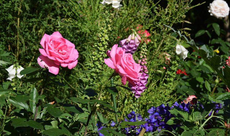 Krásné růže, aneb jak se o ně správně starat