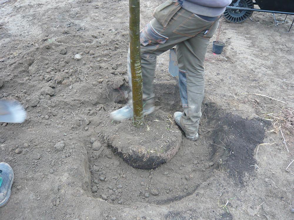 Při výsadbě stromů je nutné zeminu přihazovat postupně a pečlivě ji hutnit, aby nevznikaly vzduchové kapsy.