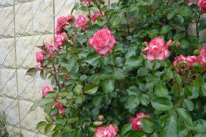 Popínavé růže vyžadují pevnou oporu. foto: Lucie Peukertová