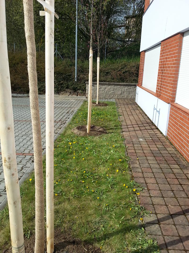 Při výsadbě vzrostlých stromů počítejte s kotvením pomocí kůlů a bandáží kmene jutou.