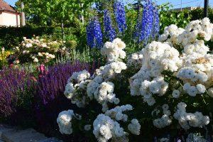 Růže se skvěle kombinují s různými druhy trvalek i letniček. foto: Lucie Peukertová