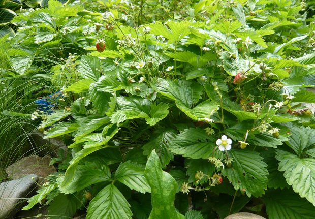 Jahodník měsíční lze pěstovat jako podsadbu pod kyselomilnými borůvkami chocholičnatými. foto: Lucie Peukertová