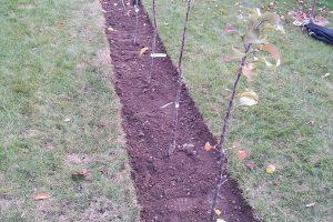 Výsadba sloupovitých jabloní.
