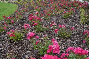 Růže vysaďte optimálně na slunné stanoviště. foto: Lucie Peukertová