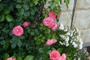 Zajímavě bude působit i několik různých odrůd růží vedle sebe. foto: Lucie Peukertová