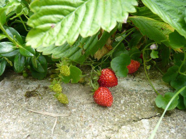 Měsíční jahodník plodí od června do podzimu. foto: Lucie Peukertová