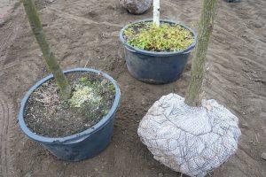 Vzrostlé stromy seženete v kontenjenru nebo v balu.