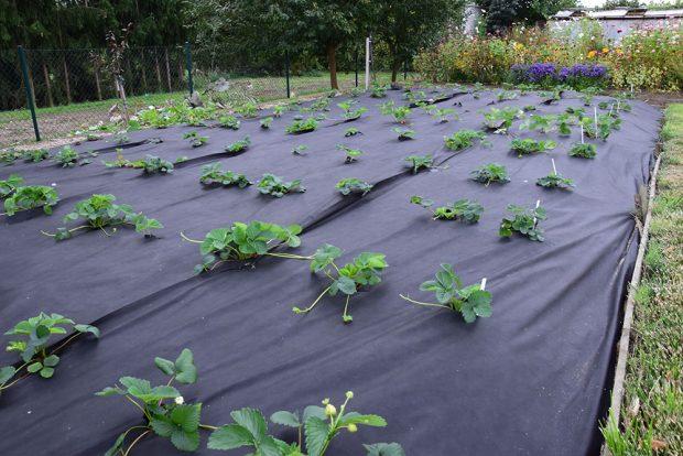 Pěstování stáleplodících jahod na záhonu s mulčovací textilií. foto: Lucie Peukertová