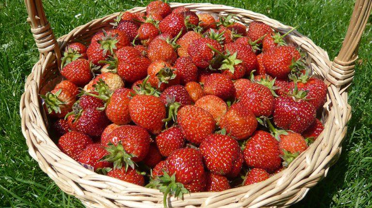 Praktické rady pro pěstování jahod na zahradě