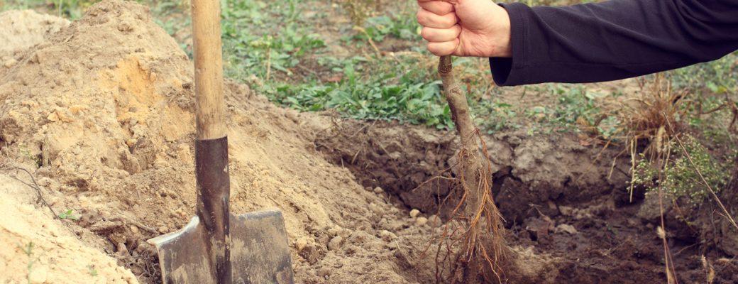 Výsadba stromů na zahradě
