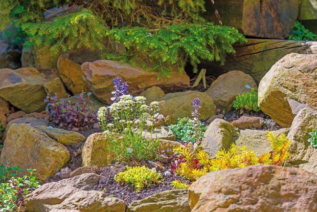 Skalničky jsou nenáročné, zpravidla vysokohorské rostliny, kterým se daří vchudých vápenitých půdách. FOTO ISTOCK