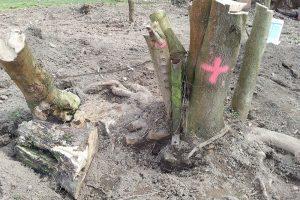 Před kácením si ověřte, zda u kmene nenajdete třeba kovovoý plotový sloupek, mohl by značně ztížit kácení. foto Lucie Peukertová