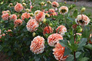 Výběr odolných trvalek do venkovské zahrady