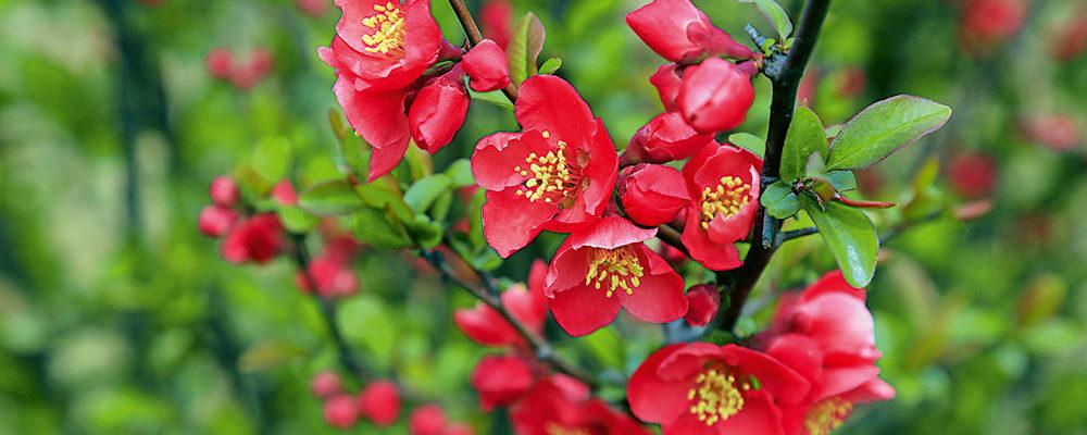 Okrasné kvetoucí keře v zahrade