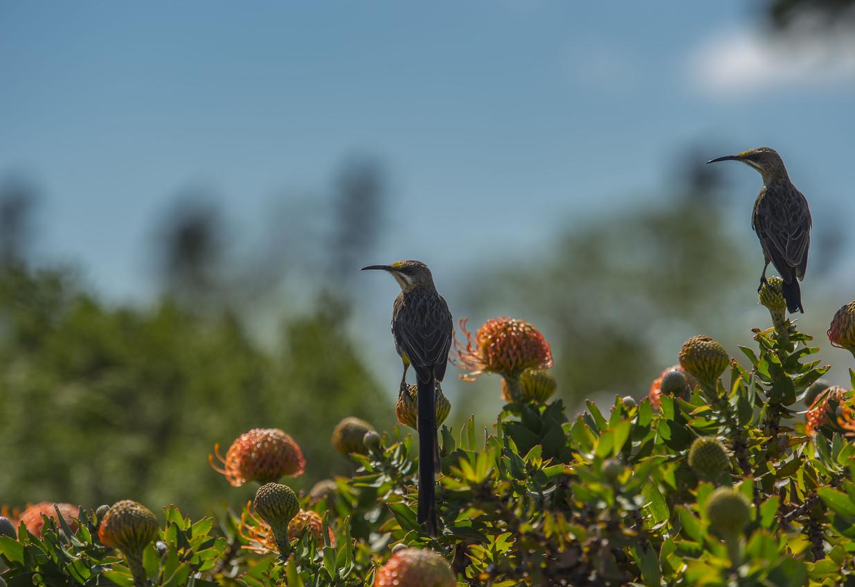 Protea královská