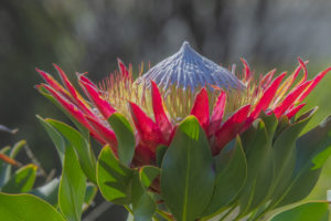 Protea královská: Exotický keřík s obrovskými květy. Jak se o něj starat?