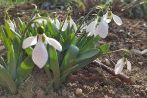 Sněženky: křehké královny jara