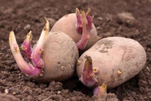 naklíčené brambory