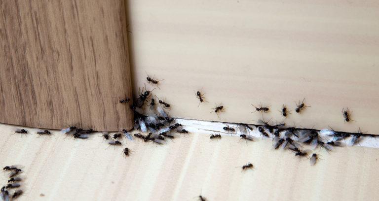 Víte, jak se podomácku a bez chemie zbavíte mravenců?