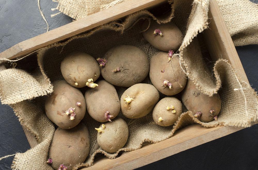 Jak na rychlení brambor? Nechejte je naklíčit!