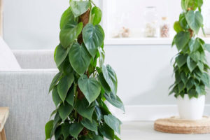 Philodendron scandens,