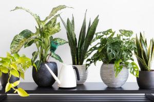Difenbachie ve skupince rostlin – druhá zleva,