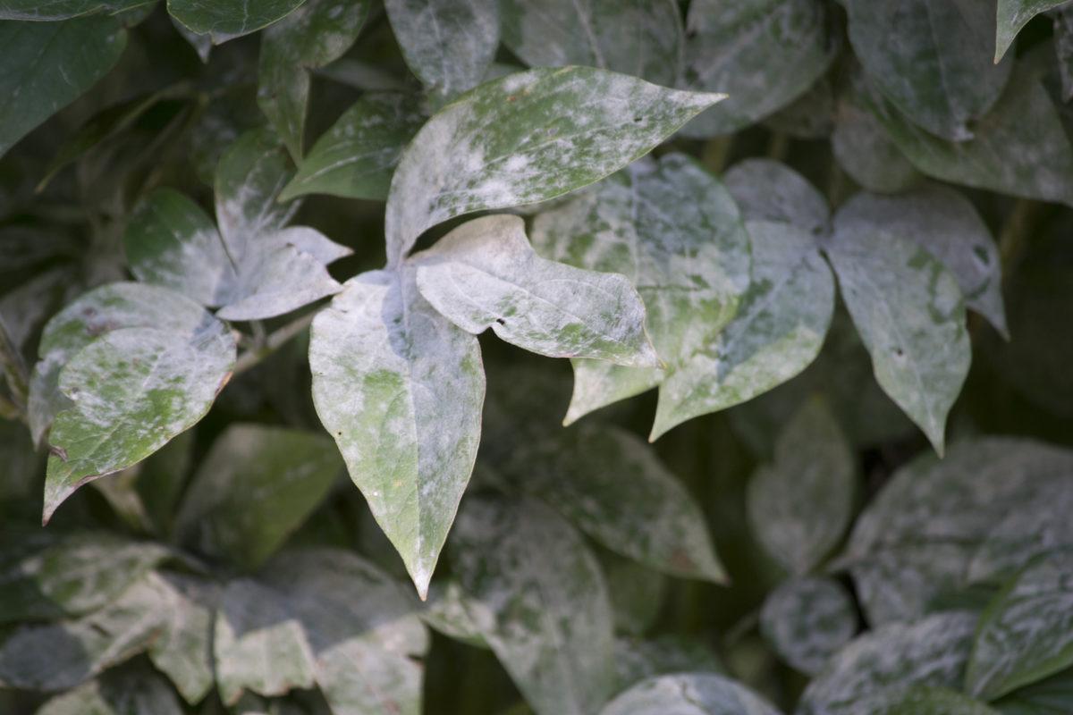 4 přirozené metody, jak zvítězit nad padlím v zahradě