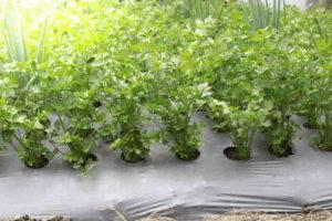 řapíkatý celer
