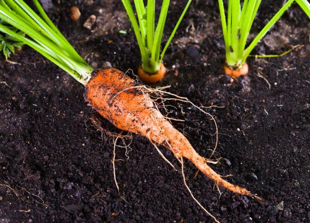 pěstování mrkve