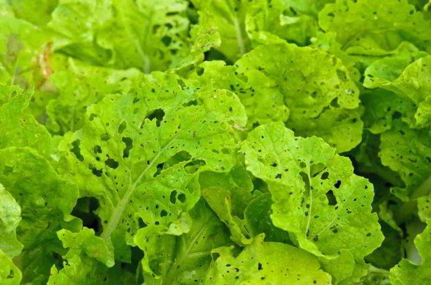 poskozeny salat