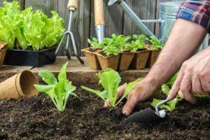 sadíme salat