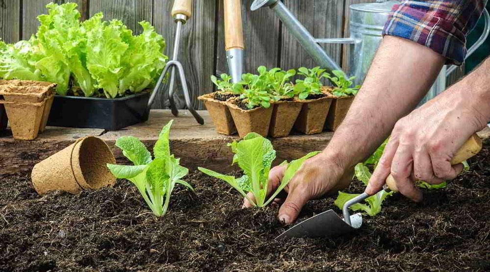 Jak řešit nejčastější problémy při pěstování hlávkového salátu