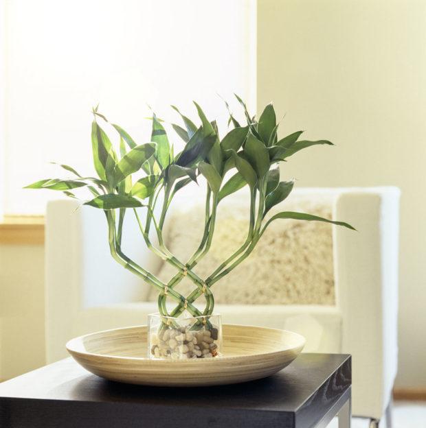 Bambus štěstí