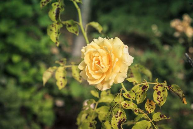 Soda bikarbona a ruže