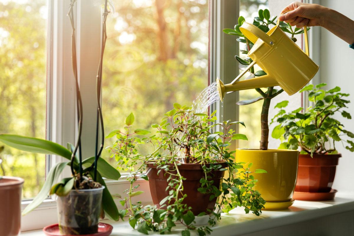 Rostliny na okenních parapetech: Kterým druhům se daří nejvíce a jak je pěstovat