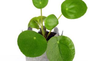 Čínská rostlina bohatství