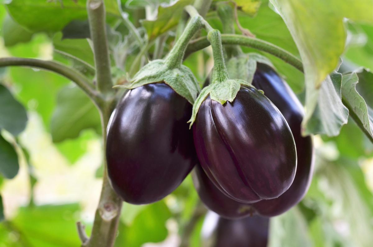 Ripe purple eggplants