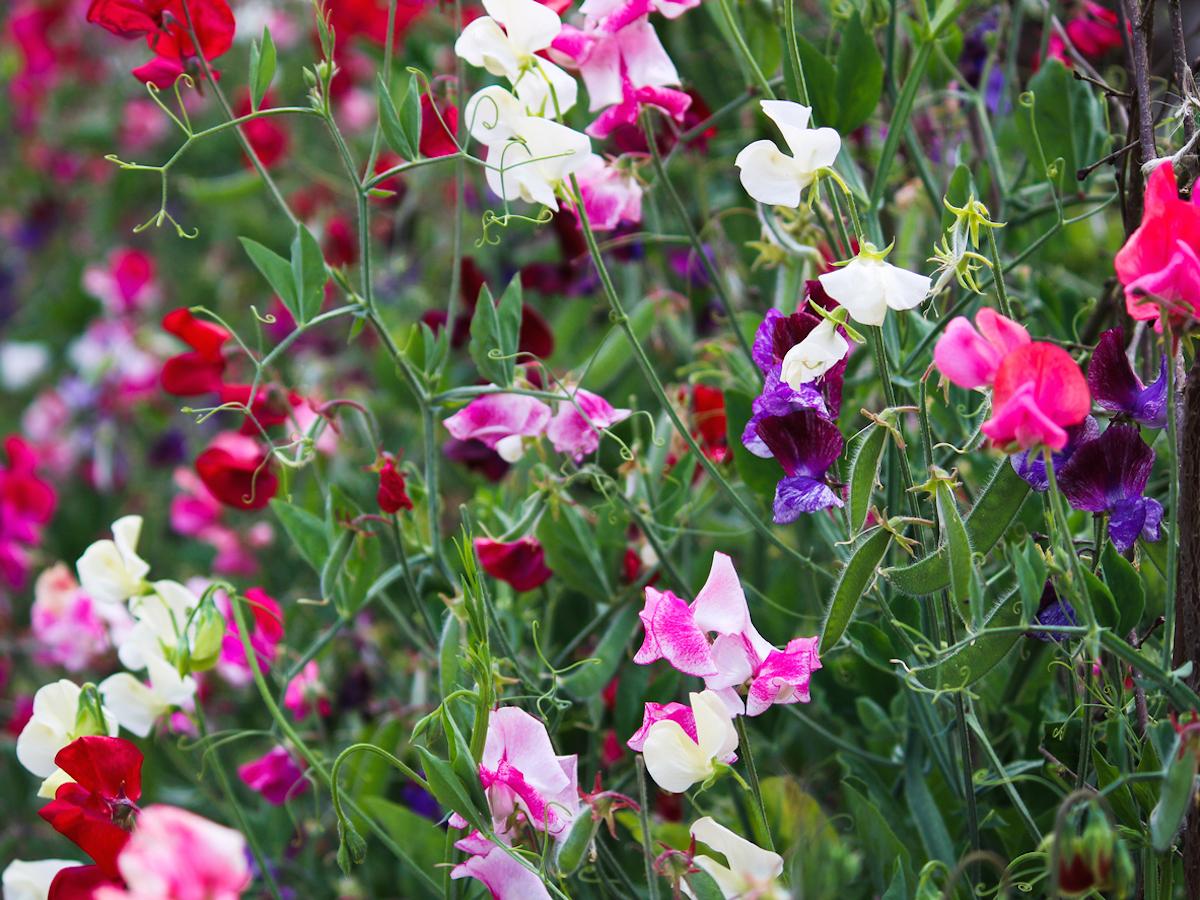 Multicolored blooming sweet peas – Cornwall, UK