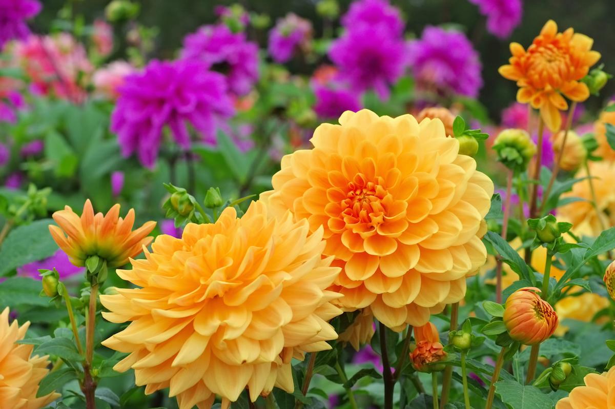 Dahlia is called Orange Garden