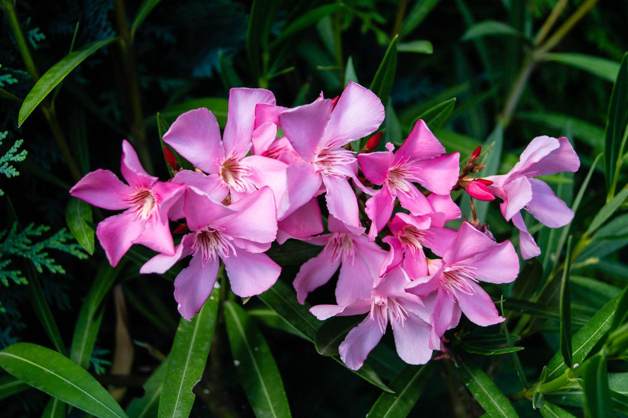 Rosenlorbeer – Nerium oleander
