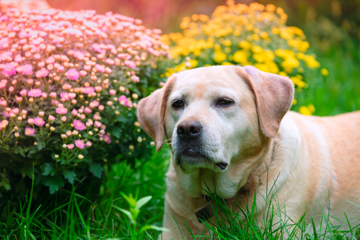 Labrador retriever dog lying on the grass in the summer garden near blossoming chrysanthemum