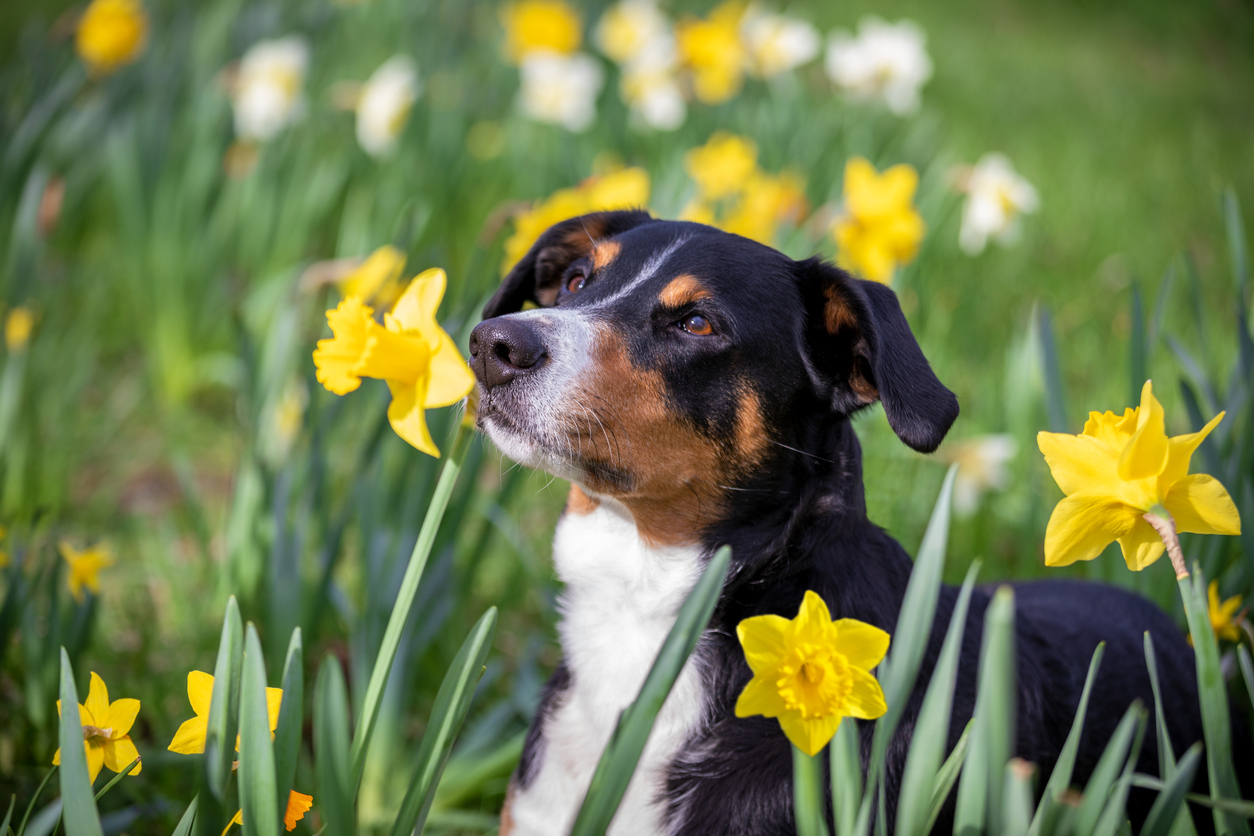 Dog sitting in tulip flower fields