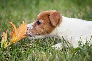 Pes voní květinu
